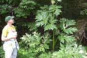 The Giant Hogweed!!