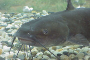 The Nashville Predator's CATFISH Tradition Dates Back To 2002