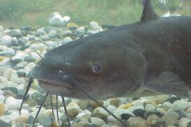 The Nashville Predator's CATFISH Tradition Dates Back To 2002